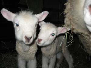 5 loose lambs in Feb 13 001
