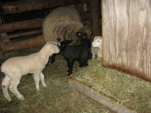 5 loose lambs in Feb 13 011
