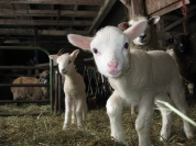 Our curious and friendly lambs