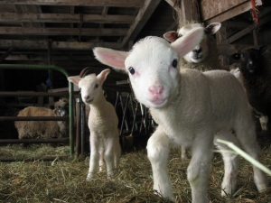 This is my second-cutest lamb, if you'd believe it!