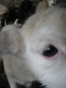 The trouble with trying to photograph friendly lambs