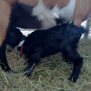 Black goat nursing