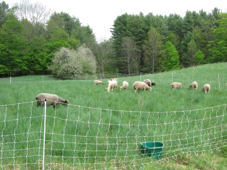 The grass is up to their tummies.  This field is surrounded by blooming apple trees