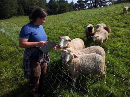 Finewool Crossbred sheep yarn for sale