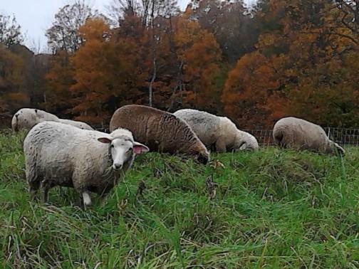 Vermont Lambs on Pasture