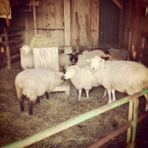 Sheep and Pickle Farm sheep