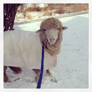 Here's Earl, back when his fleece was protected...