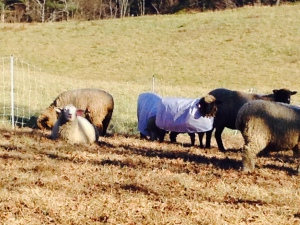 Sheep and Pickle Farm Natural Colored Wool