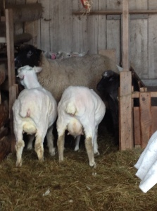 Sheep and Pickle Vermont Aran Yarn Sheep Shearing