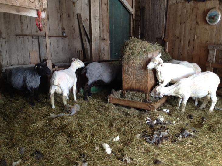Sheep and Pickle Farm Vermont Aran  Shorn sheep eating