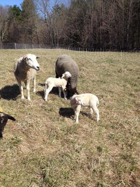 Sheep and Pickle Farm Breeding Stock