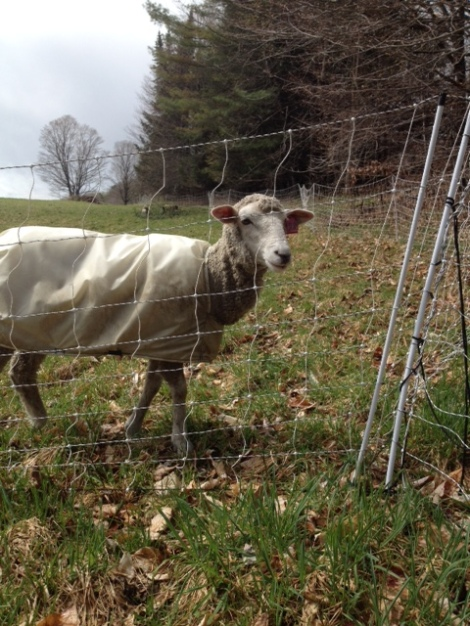 Sheep and Pickle Farm Rotational Grazing