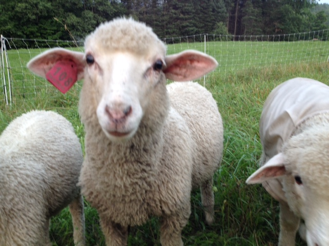 Sheep and Pickle Farm Breedstock