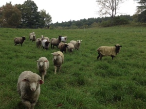 Sheep and Pickle Farm Flock