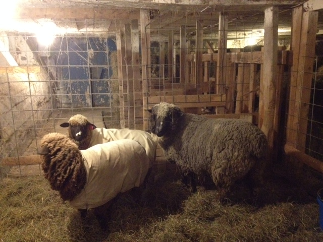 New  Cormo Ram at Sheep and Pickle Farm