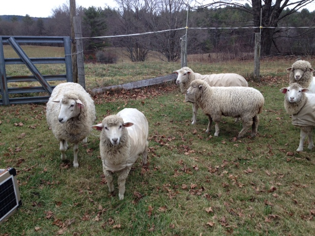 Sheep and Pickle Farm Fine Wool Ewes