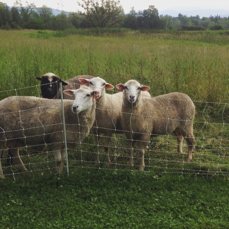Friendly sheep at sheep and pickle farm vermont pasture sheep