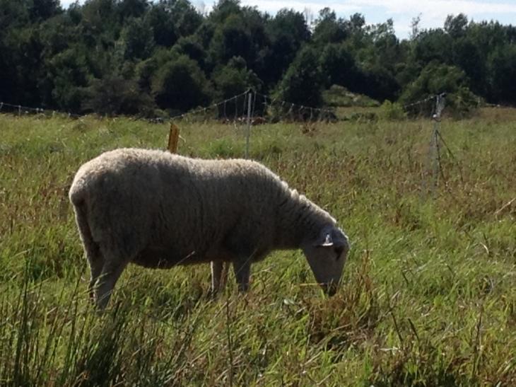 Sheep and Pickle Farm Fine wool Sheep