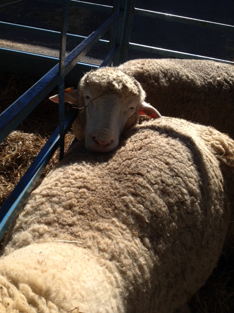 Rhinebeck 2015 sheep and wool festival sheep in pens  sheep and pickle farm adventures