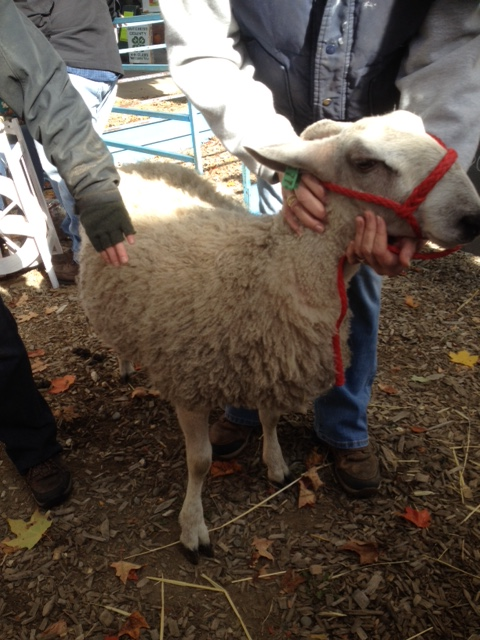 Rhinebeck 2015 sheep and wool festival Smiling Sheep Farm Bluefaced Leicester ewe lamb