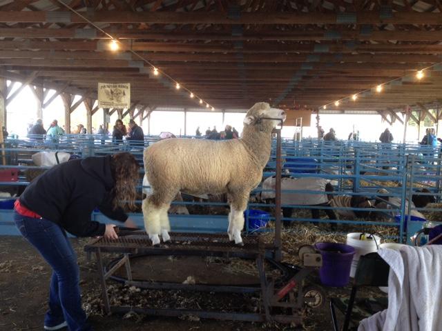 Rhinebeck 2015 sheep and wool festival Ruppert's Corriedales Corriedale ewe