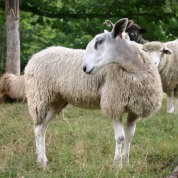 Registered Bluefaced Leicesters